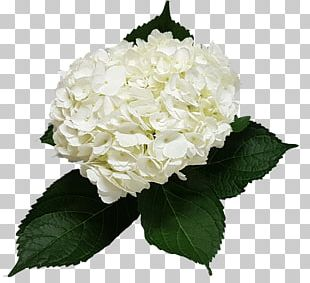 Hydrangea Cut Flowers Flower Bouquet Floral Design PNG