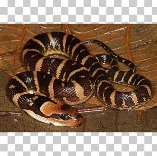 Boa Constrictor Hognose Snake Rattlesnake Kingsnakes Vipers PNG
