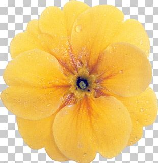 Nemesia Native Plant Flower Annual Plant PNG