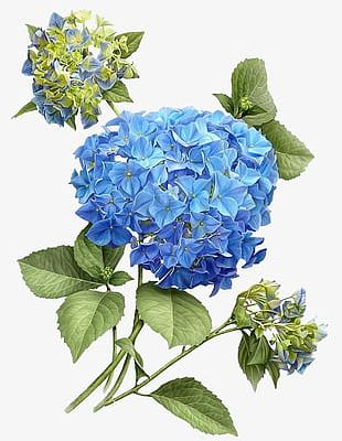 Hand-painted Hydrangea PNG