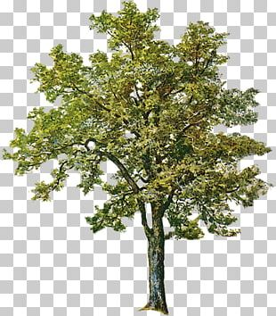 Tree Ash Birch PNG
