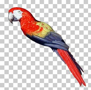 Pirate Parrot Bird Parakeet PNG