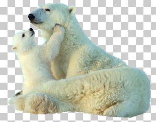 Baby Polar Bear Giant Panda Animal PNG
