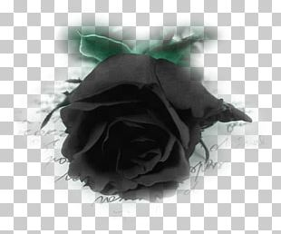 Black Rose Desktop PNG