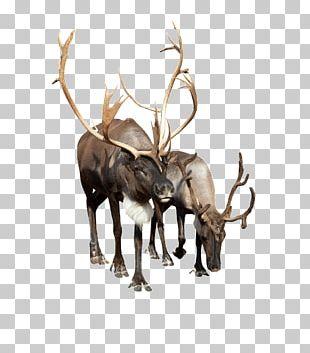 Reindeer Stock Photography Camel PNG