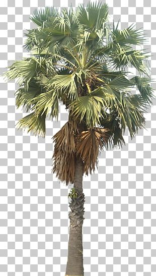 Asian Palmyra Palm Mexican Fan Palm Arecaceae Wodyetia PNG