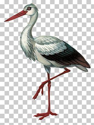 White Stork Black Stork Bird Красная книга Волгоградской области Beak PNG