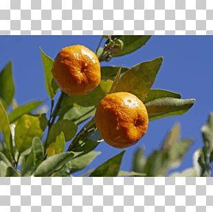 Bitter Orange Rangpur Tangerine Clementine Calamondin PNG