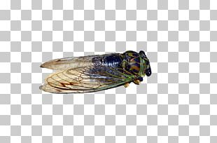 Insect Stock Photography Locust Cicadas PNG