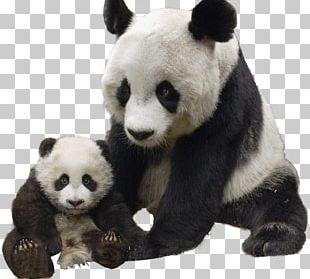 Giant Panda Polar Bear Red Panda Raccoon PNG