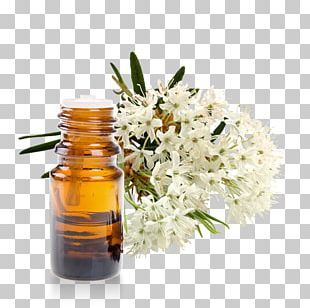 Marsh Labrador Tea Essential Oil Homeopathy Rhododendron Subsect. Ledum PNG
