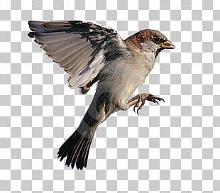 House Sparrow Bird Flight Eurasian Tree Sparrow PNG