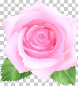 Garden Roses Cabbage Rose Floribunda China Rose Still Life: Pink Roses PNG