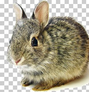 Flemish Giant Rabbit Mini Lop Netherland Dwarf Rabbit Eastern Cottontail PNG