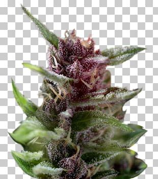 Cannabis Sativa White Widow Dutch Passion Seed PNG