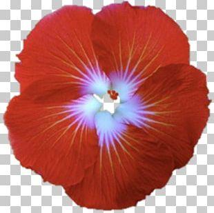 Shoeblackplant Flower Hawaiian Hibiscus Red PNG