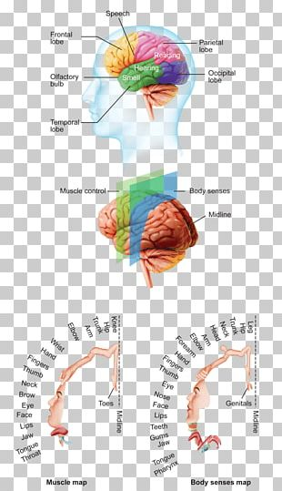 Human Brain Cerebral Cortex Anatomy Cerebrum PNG