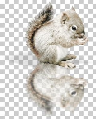 Red Squirrel Tree Squirrel PNG