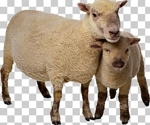 Sheep Goat Cattle PNG