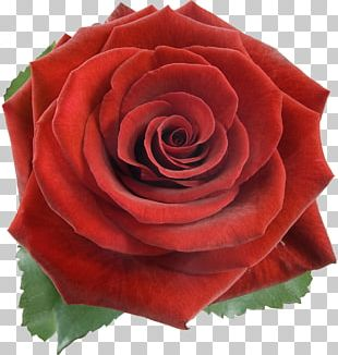 Rose Stock Photography Red Flower PNG