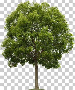 Populus Nigra Tree Deciduous PNG