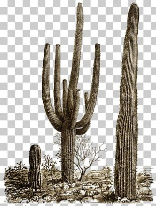 Cactus Illustration PNG