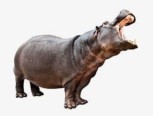 Hippo Animal PNG