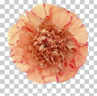 Carnation Cut Flowers China Pink Plant Stem PNG