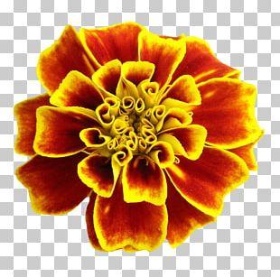 Portable Network Graphics Flower Rose Desktop PNG