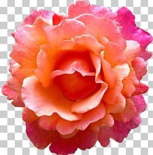 Rose Flower Pink Earring Orange PNG
