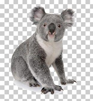Koala Australia Bear Cuteness Animal PNG