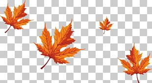 Maple Leaf Red Maple PNG