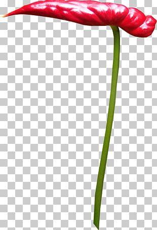 Tulip Petal Flowering Plant Leaf Plant Stem PNG