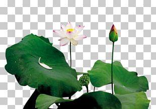 Lotus Pond Leaf Bud PNG
