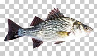 Striped Bass White Perch Barramundi Fish PNG