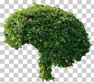 Tree Shrub Weeping Fig PNG
