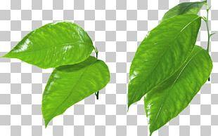 Maple Leaf Computer File PNG