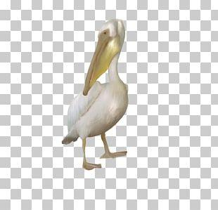 Pelican Goose Cygnini Duck Bird PNG