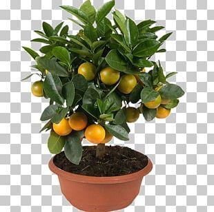 Kumquat Mandarin Orange Clementine Tangerine Rangpur PNG