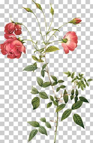 Rosa Chinensis Centifolia Roses Botany Hybrid Tea Rose Botanical Illustration PNG