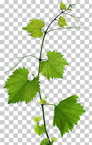 Kyoho Grape Leaves Leaf Branch PNG