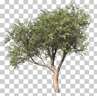 Silver Birch Populus Nigra Tree PNG