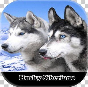 Siberian Husky Alaskan Klee Kai Puppy El Husky Siberiano Samoyed Dog PNG