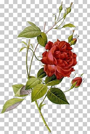 Les Roses Botanical Illustration Art PNG