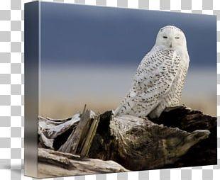 Owl Beak Stock Photography Feather PNG