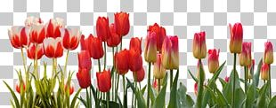 Flower Tulip Spring March Equinox Bud PNG