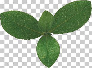 Leaf Green Bladnerv Photosynthesis Chloroplast PNG