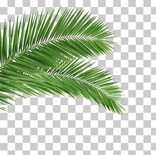 Arecaceae Leaf Frond Coconut Tree PNG