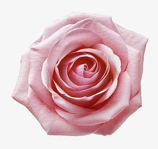 Pink Rose Closeup PNG