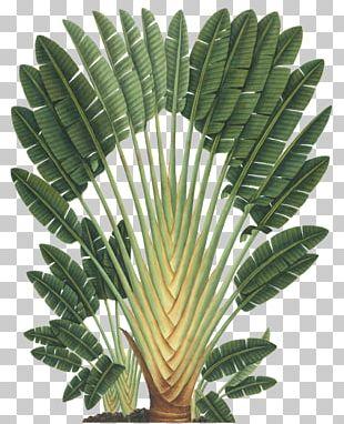 Art Forms In Nature Ravenala Madagascariensis Botanical Illustration Botany PNG